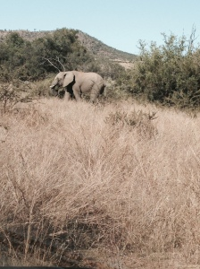 African Elephant at the Pilansberg Natural Reserve